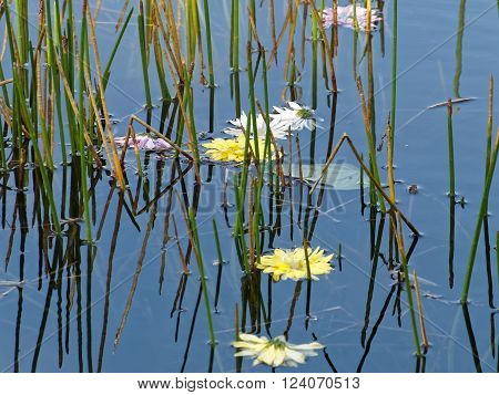 Floating flowers floating in water of lake among green reeds