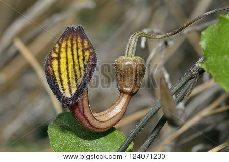 Aristolochia sempervirens  A Birthwort or Dutchmans Pipe