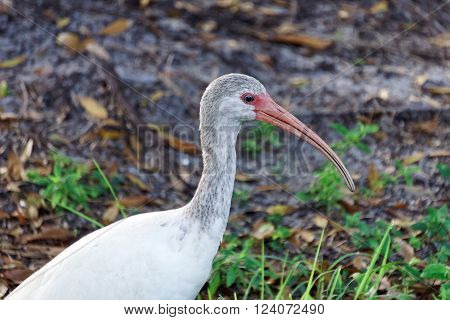 Juvenile White Ibis on the gound in profile