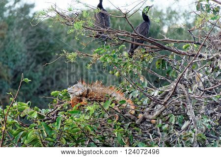 Male Green Iguana with orange breeding color in tree with pair of Double-crested Cormorant birds