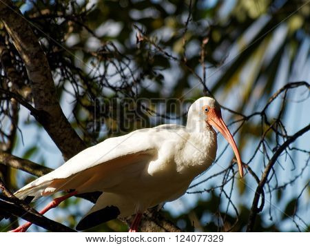 White Ibis on a tree stretching out its leg and wing