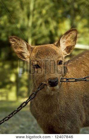 Deer Biting On Chain
