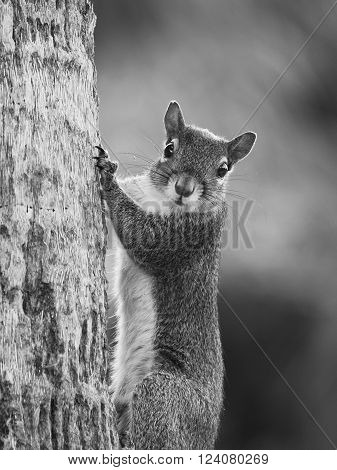 Eastern Gray Squirrel making direct eye contact from tree trunk