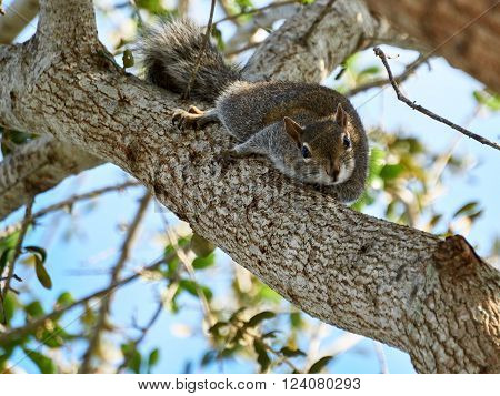 Curious Eastern Gray Squirrel staring from prone position on branch head tilted