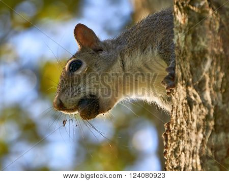 Eastern Gray Squirrel holding acoorn in mouth while cautiously coming down tree