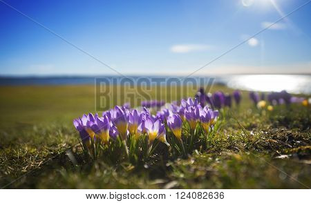 Beautiful purple and yellow crocuses with blue lake and sky in spring