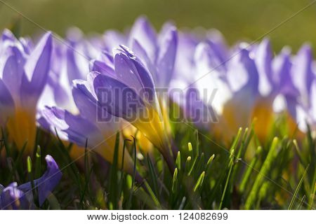 Close up of purple and yellow crocuses on sunny day in early spring