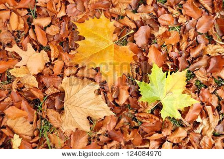 Autumn park ground with autumn leaves, colorful maple leaf on beeches leaves.