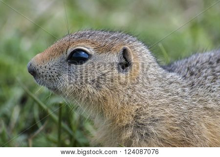 The young ground squirrel on a background of green grass.