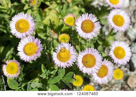Erigeron glaucus is a species of flowering plant in the daisy family known by the common name seaside fleabane, beach aster, or seaside daisy.