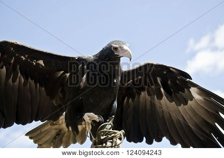 the wedge tailed eagle is ready to soar