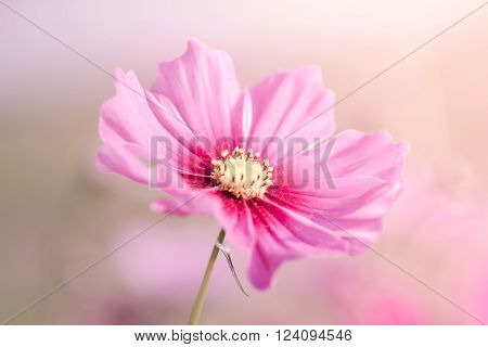 Beautiful Cosmos Flowers With Color Filters
