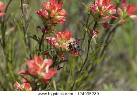Yellow and black Bumble Bee pollenating a beautiful pink Indian Paintbrush flower on a sunny Spring day. ** Note: Soft Focus at 100%, best at smaller sizes