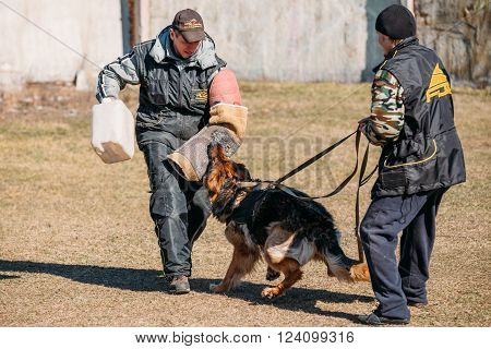 Gomel, Belarus - March 27, 2016: German shepherd dog training. Biting dog. Alsatian Wolf Dog.