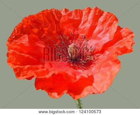 Red head of poppy flower (Papaver) isolated