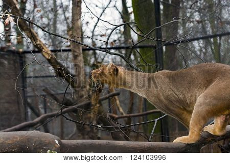 Malagasy fossa (Cryptoprocta ferox) walking on tree