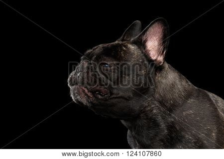 Close-up Funny sneezes French Bulldog Dog in Profile view Isolated on black background