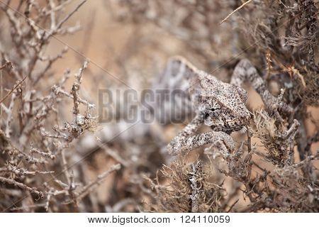 Chameleon hiding in bush - Socotra island, Yemen