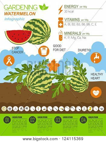 Gardening work, farming infographic. Watermelon. Graphic template. Flat style design. Vector illustration