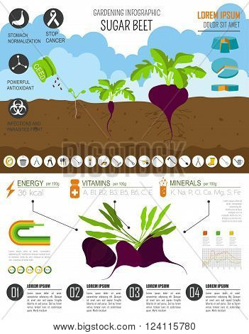Gardening work, farming infographic. Sugarbeet. Graphic template. Flat style design. Vector illustration