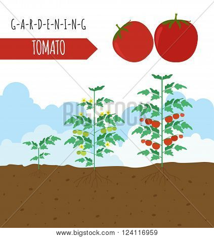 Gardening work, farming infographic. Tomato. Graphic template. Flat style design. Vector illustration