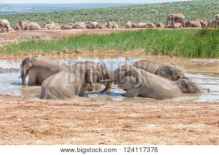 several young elephants playing in a muddy waterhole