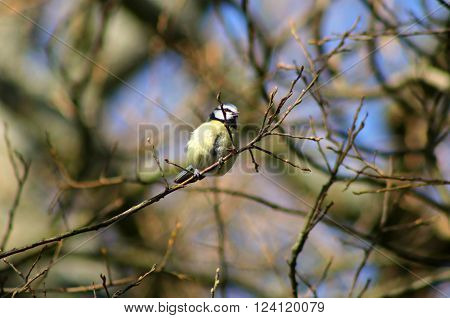 A fluffy Blue Tit clinging to a branch