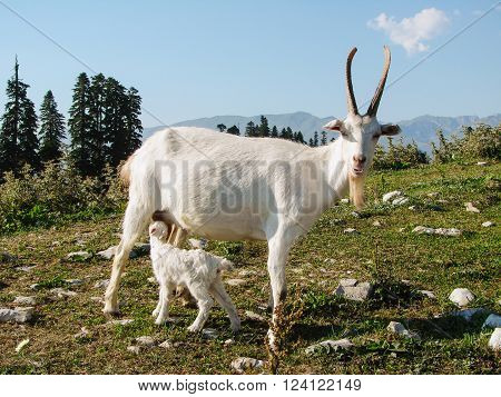 White goat and kid are grazed on a green meadow in mountains