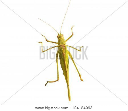 the green grasshopper on a white background