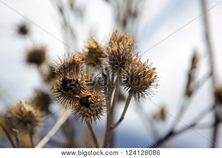 Dry Thistle close up in the spring.  Weed prickly plants belonging to different species Cardus, Arctium and Cirsium. Carduus is a genus of plants of the family Asteraceae or Compositae.