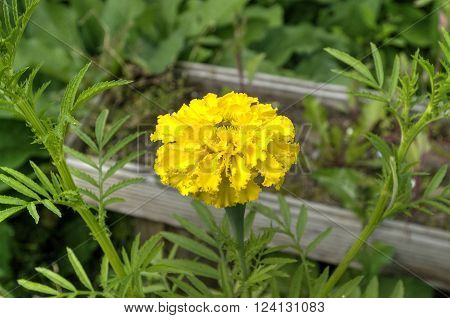 The flowers of the garden. Marigolds (marigolds) yellow