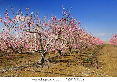 Almond trees blossoming at the Golan Heights. Israel.