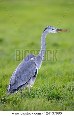 Grey Heron standing in grass, looking for prey
