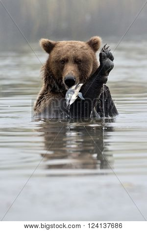 Grizzly Bear with fish in water, with his feet up