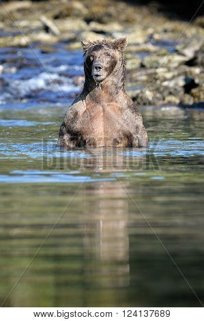 Grizzly Bear standing up in water, to look for Salmon