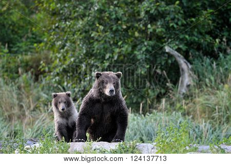Grizzly Bear mother with cub sitting on river bank