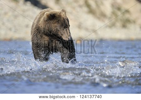 Grizzly bear fishing in river during salmon run