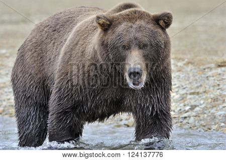 Grizzly bear searching for fish in river.