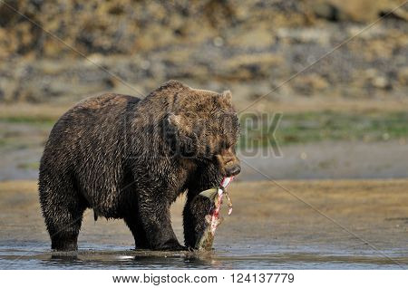 Grizzly Bear eating a caught salmon, while standing in river
