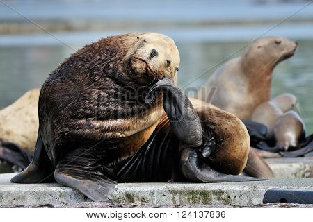 Sea-lion resting his on his chin while sitting on a rock
