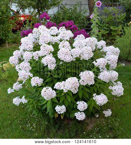 The Bush white hydrangea Garden bloom lawn flowers plants
