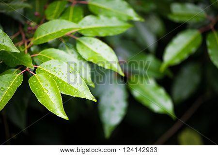 closeup of a fresh, green wet leaves