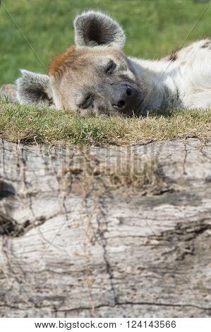 Beautiful african sleepy hyena on grass in sunlight