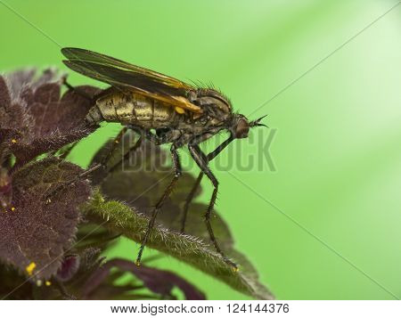 Robber fly resting on leaf - close up