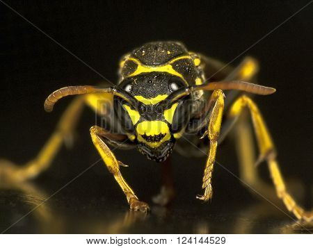 Wasp looking head -on against black background