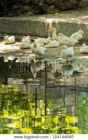 White ducks resting in a shade by a pond on hot summer day