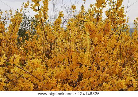 Forsythia Tree Yellow Flower