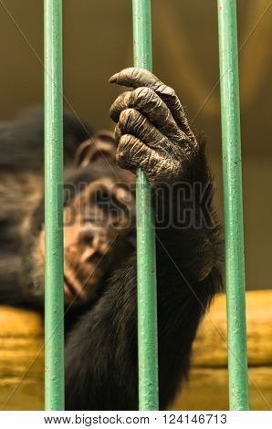 Hand of a chimpanzee monkey holding the green bar of his cage