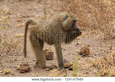 An African Baboon Walking on the Savannah