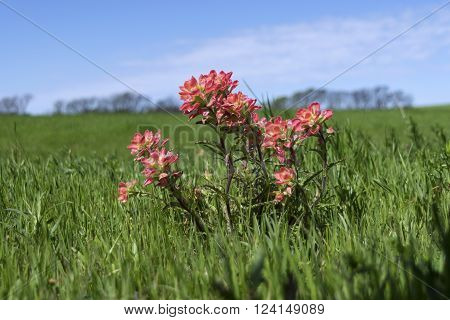 Closeup of a small cluster of beautiful pink Indian Paintbrush flowers in a large green field of grass contrasted against a row of trees on the distant horizon with a partly cloudy blue sky in the background.